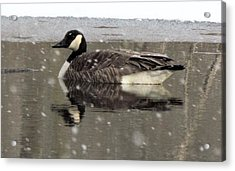 Canadian Goose In Michigan Acrylic Print