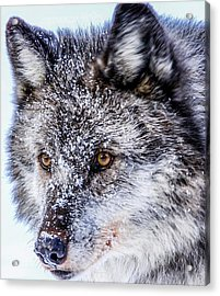 Canadian Grey Wolf In Portrait, British Columbia, Canada Acrylic Print