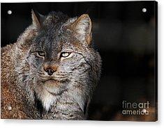 Canadian Lynx  20130107_57 Acrylic Print