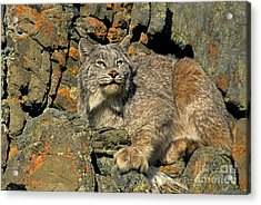 Acrylic Print featuring the photograph Canadian Lynx On Lichen-covered Cliff Endangered Species by Dave Welling