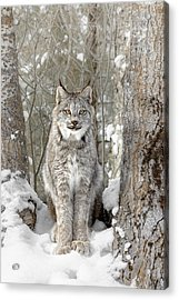 Canadian Wilderness Lynx Acrylic Print