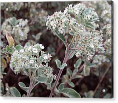 Canary Islands Smoke Bush 2 - Bystropogon Origanifolius Acrylic Print