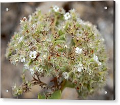 Canary Islands Smoke Bush - Bystropogon Origanifolius Acrylic Print