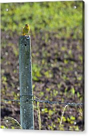 Canary Stop Acrylic Print