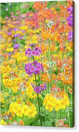 Candelabra Primula Flowers Acrylic Print by Tim Gainey