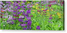 Candelabra Primula Panoramic Acrylic Print by Tim Gainey
