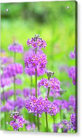 Acrylic Print featuring the photograph Candelabra Primula by Tim Gainey