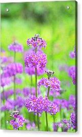 Candelabra Primula Acrylic Print by Tim Gainey