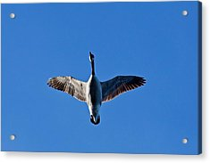 Acrylic Print featuring the photograph Candian Goose In Flight 1648 by Michael Peychich