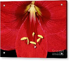 Candy Apple Red Amaryllis Acrylic Print by James Temple