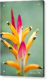Acrylic Print featuring the photograph Candy Colours - Heliconia Tropical Flower by Sharon Mau