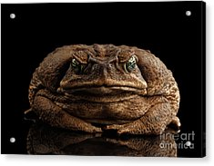 Cane Toad - Bufo Marinus, Giant Neotropical Or Marine Toad Isolated On Black Background, Front View Acrylic Print