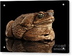 Cane Toad - Bufo Marinus, Giant Neotropical Or Marine Toad Isolated On Black Background Acrylic Print