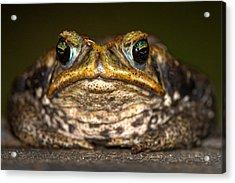 Cane Toad Rhinella Marina, Pantanal Acrylic Print