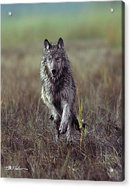 Canis Lupus Acrylic Print by Tim Fitzharris