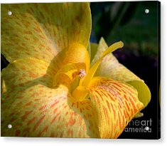 Canna Acrylic Print by Addie Hocynec