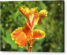 Canna Lily Acrylic Print by Kenneth Albin