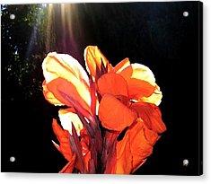 Canna Lily Acrylic Print by Will Borden
