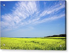Acrylic Print featuring the photograph Canola Blue by Keith Armstrong