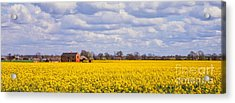 Canola Field Acrylic Print by John Edwards