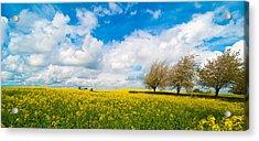 Canola Field Panorama Acrylic Print by Amanda Elwell