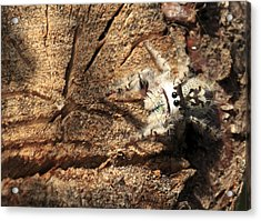 Canopy Jumping Spider Acrylic Print
