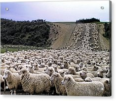 Acrylic Print featuring the photograph Cant Sleep - Count Sheep by Phil Stone