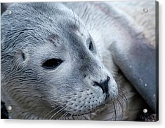 Cape Ann Seal Acrylic Print by Mike Martin