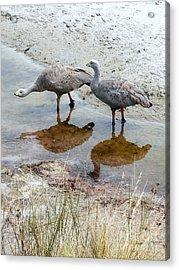 Cape Baron Geese On Maria Island 2 Acrylic Print
