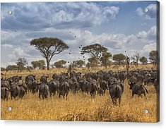 Cape Buffalo Herd Acrylic Print by Kathy Adams Clark