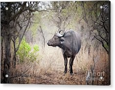 Cape Buffalo In A Clearing Acrylic Print