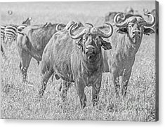 Cape Buffalos In Serengeti Acrylic Print by Pravine Chester