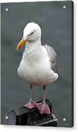 Cape Cod Seagull Acrylic Print