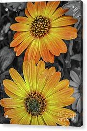 Cape Daisy's - Orange Acrylic Print