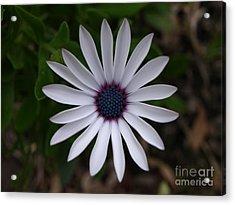Cape Daisy Acrylic Print