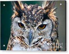 Cape Eagle Owl Acrylic Print