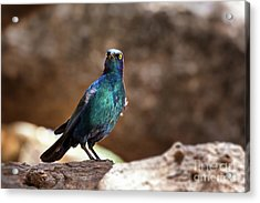 Cape Glossy Starling Acrylic Print