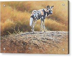 Cape Hunting Dog Acrylic Print