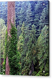 Capilano Canyon Ivy Acrylic Print by Will Borden