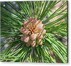 Captivating Pine Acrylic Print