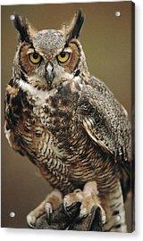 Captive Great Horned Owl, Bubo Acrylic Print by Raymond Gehman