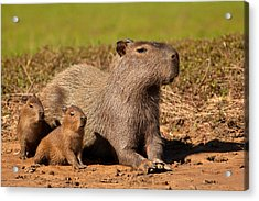 Capybara Family Enjoying Sunset Acrylic Print