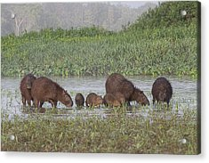 Acrylic Print featuring the photograph Capybara by Wade Aiken