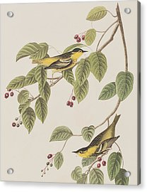 Carbonated Warbler Acrylic Print by John James Audubon