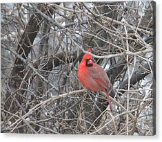 Cardinal 1 Acrylic Print by Vijay Sharon Govender