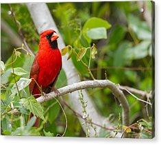 Cardinal 147 Acrylic Print