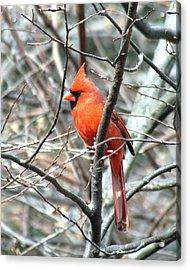 Cardinal 2 Acrylic Print