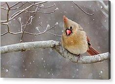 Cardinal And Falling Snow Acrylic Print