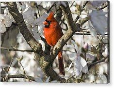 Northern Cardinal And Magnolia 1 - D009892 Acrylic Print
