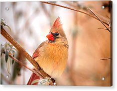 Cardinal Bird Female Acrylic Print by Peggy Franz